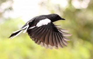cara-merawat-burung,kacer-jawara-piala-raja,video-kacer-jawara,kacer-jawara-sumatera,download-lagu-kicau-burung-kacer-jawara,juara-om-kicau,lomba,