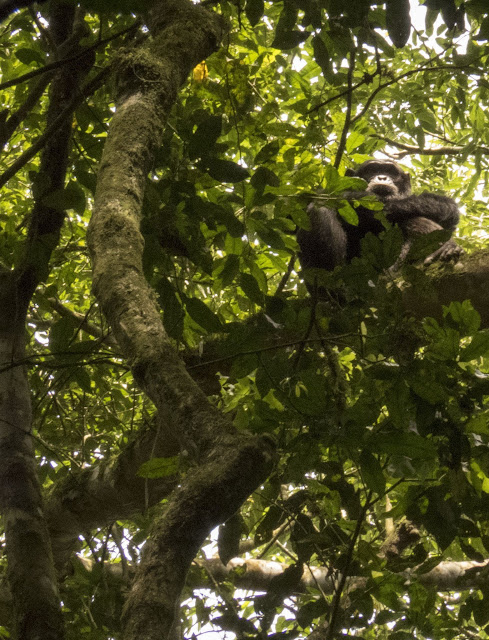 Chimp sitting in a tree in Uganda