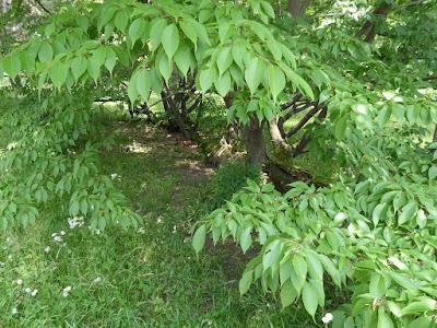 京都御苑 マツに生えたサクラ