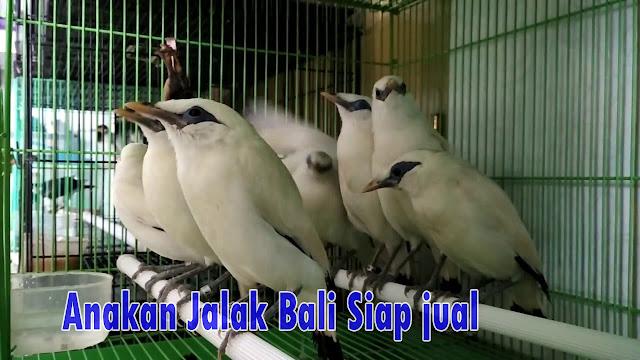 Anakan Jalak Bali