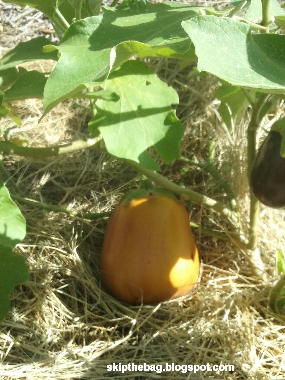 Skip The Bag When To Harvest Eggplant Eggplant Parmesan Recipe
