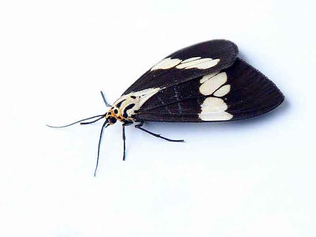 butterfly, Udaspes folus