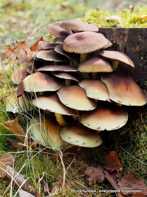 maslanka wiazkowa, grzyby gatunkami, atlas grzybow, grzybobranie, jaki to grzyb, grzybek, grzybki, las, prosto z lasu, mykologia, grzybnieta