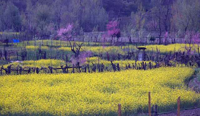 mustard fields pahalgam kashmir india colourful