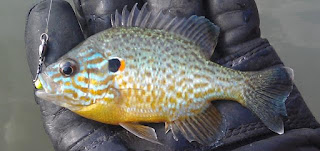 Pumpkinseed sunfish, Wikimedia Commons, Kafziel