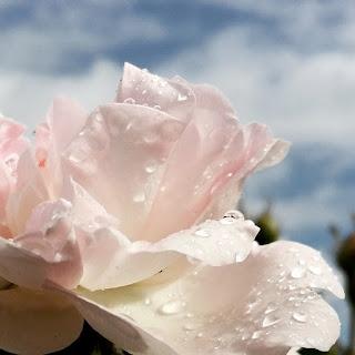 Rosa 'Maidens Blush'