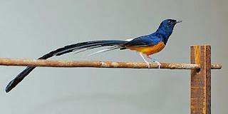 Berita Burung - Cerita Kicau Mania Beli Burung Seharga Rp 350 Juta