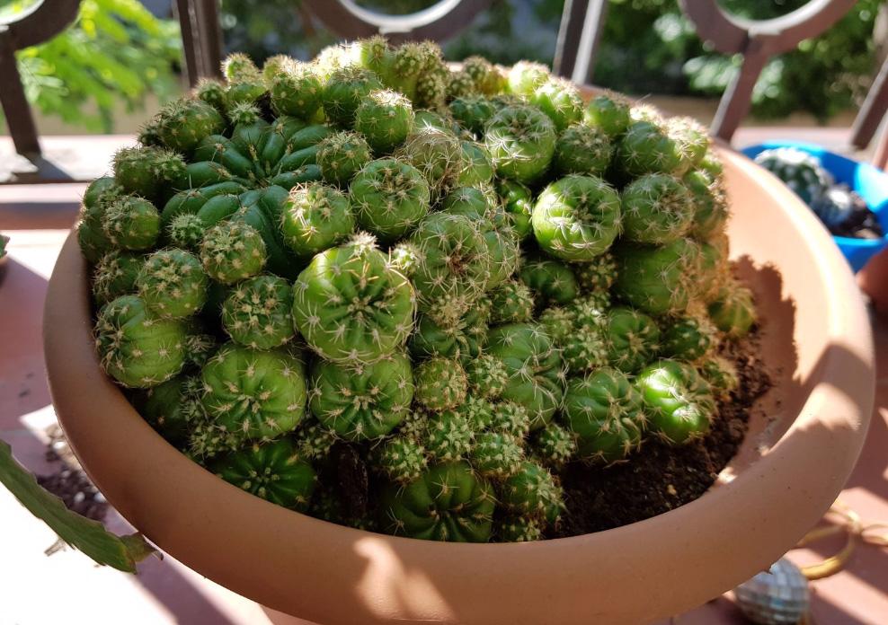 cactus iagm; mc98; julio 2017