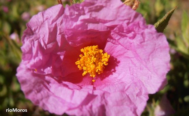 Flor de jara rizada Cistus crispus