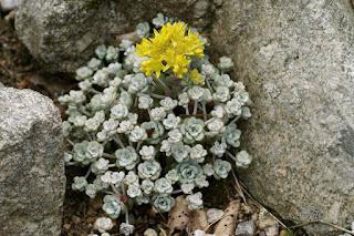 Orpin spatulé - Sedum spathulifolium