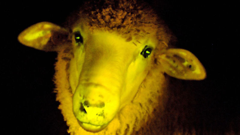 علماء قاموا بهندسة أول خروف يُضيء في الظلام