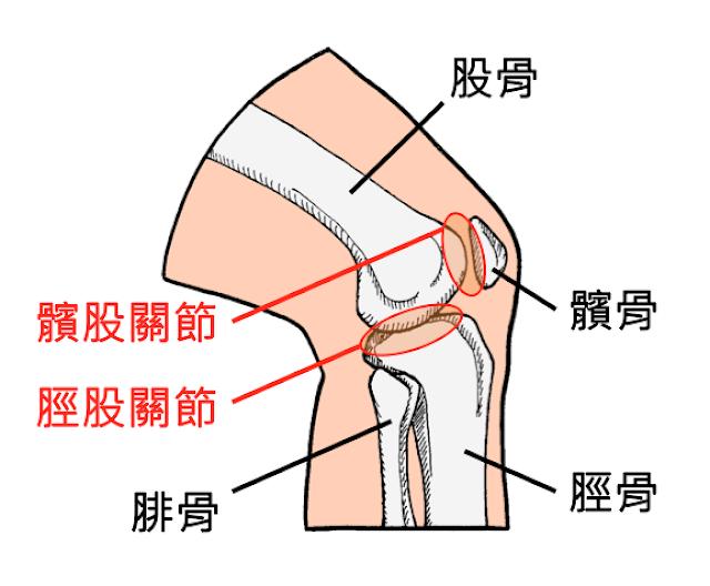 好痛痛 膝蓋 膝關節 股骨 髕骨 脛骨 腓骨 髕股關節 脛股關節