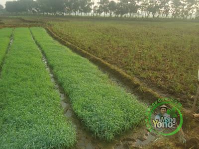 Cara Tradisional Mengetahui pH Tanah Apakah Asam Atau Tidak