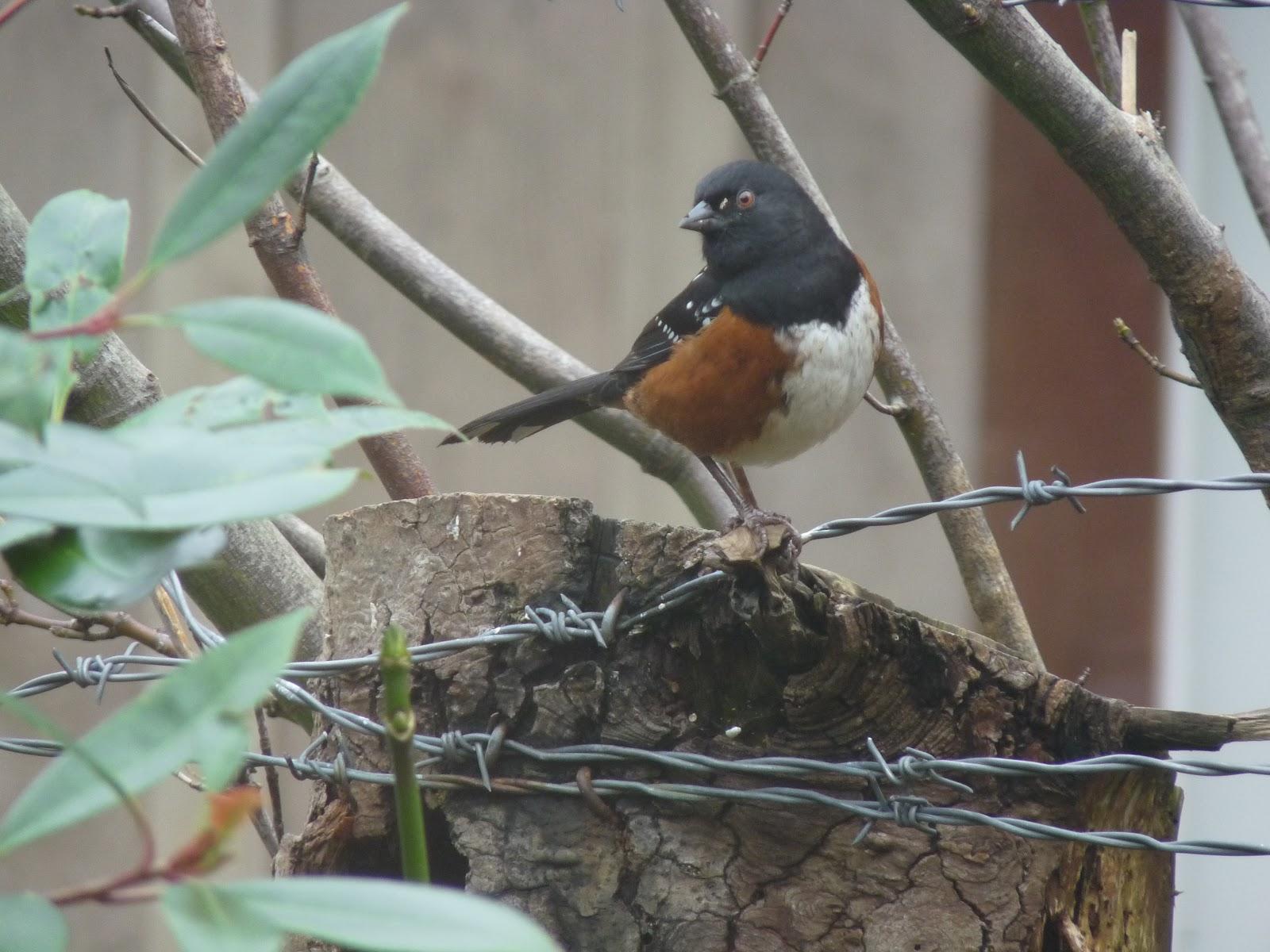 Gabriola Bird Blog: Great Backyard Bird Count!
