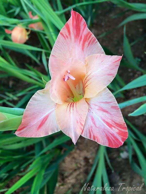 Variedad rosada con matices rojas de una flor del género Gladiolus