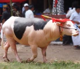 Tedong Lotong Boko (Kerbau Belakang Hitam) Toraja