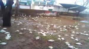 VIDEO:  Tormenta de granizo mata a mas de 1000 aves en la india.