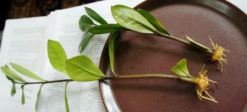 Zamioculcas Zamiifolia Zz Plant The Eternity Plant Plant Archive