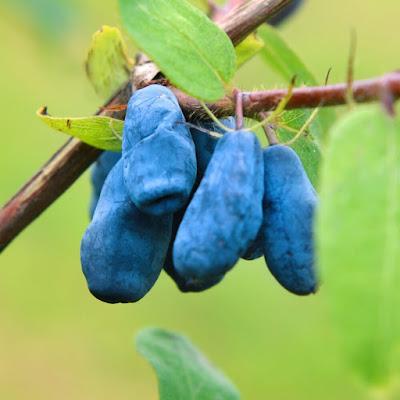 owoce jagody kamczackiej Wojtek