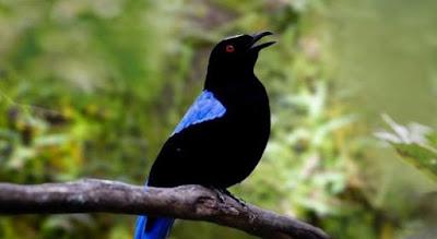 Mengenal Dekat Jenis Burung Cucak Biru Dan Ciri Fisiknya Paling Lengkap