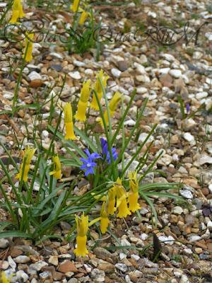 Botaniquarium - Narcissus cyclamineus with Chionodoxa