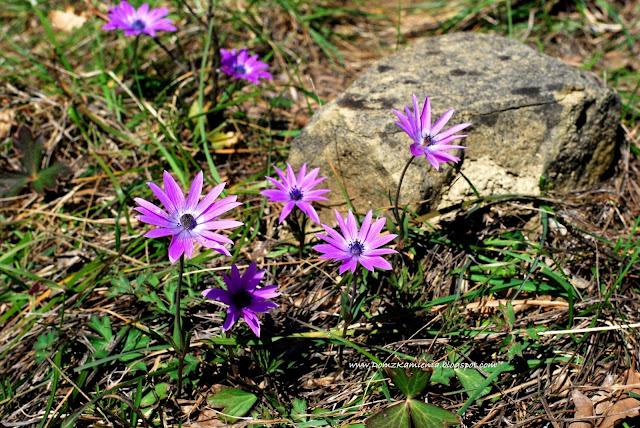 kwiaty świętego Józefa