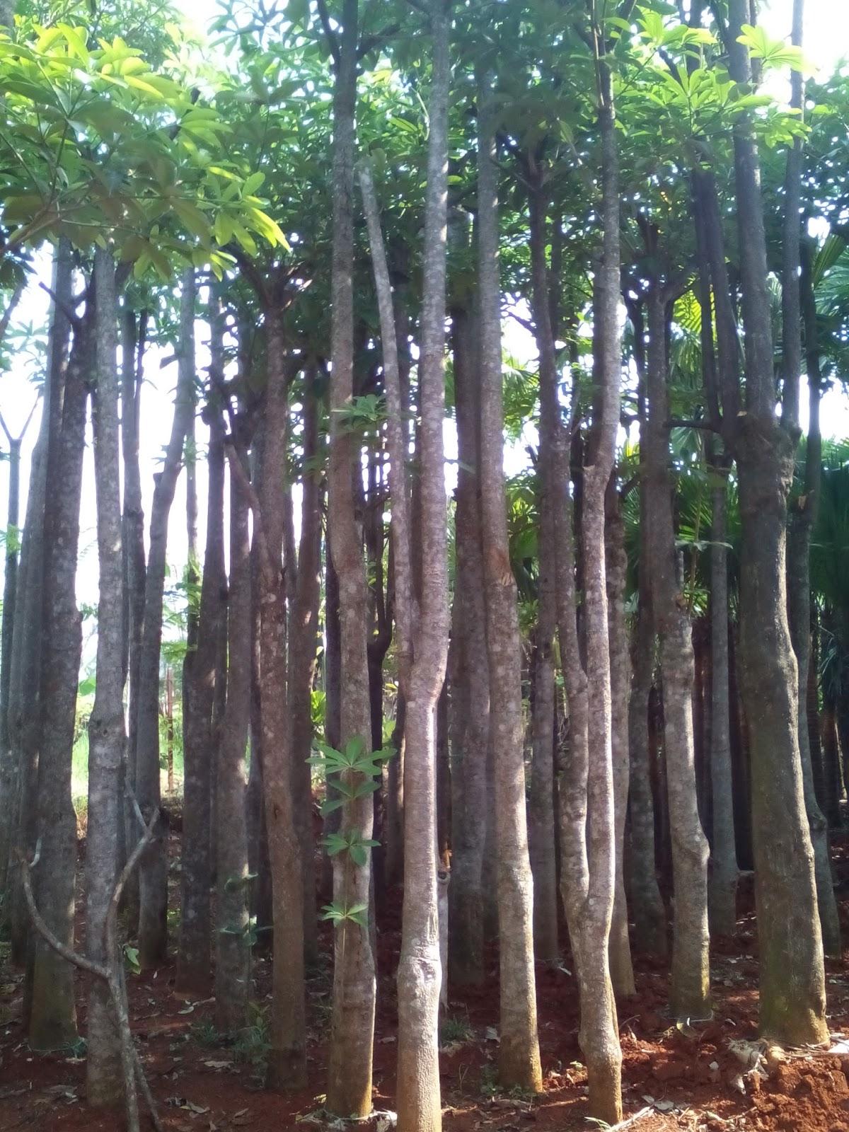 Jual Pohon Pule Batang besar murah pulai lame bergaransi