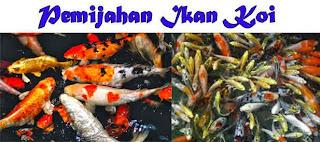 Budidaya Ikan Koi Secara Singkat Dapat Meraup Keuntungan