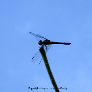 Dance of the Dragonfly step 3