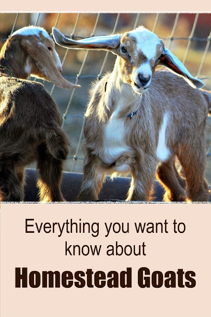Are you wanting goats? Here's how to get started: why they're so good for a homestead, the basic items you need, how to care for them, how to make cheese and soap and so much more. Plus some free printable forms to help you keep track of it all.
