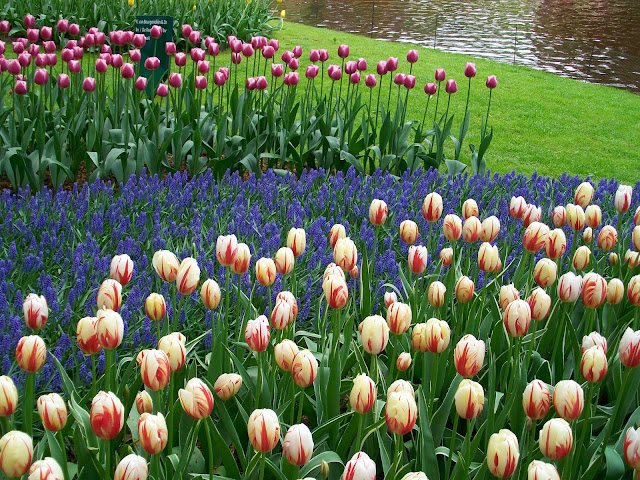 tulips and muscari in bloom