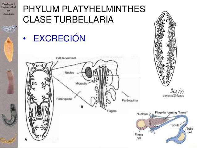 Info animales: CLASIFICACIÓN DE PLATELMINTOS