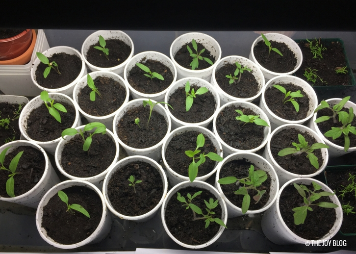 Tomato and pepper seedlings under a grow light // www.thejoyblog.net