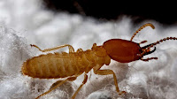 Termite pictures_Isoptera