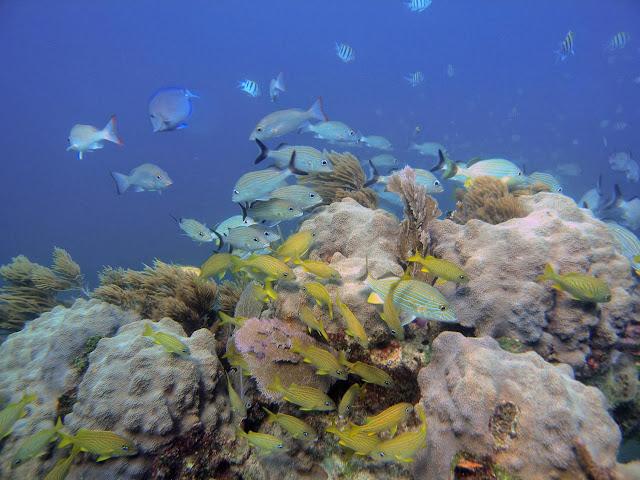 Corals survived Caribbean climate change