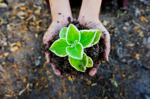 Gunakanlah tanah yang baik agar mawar dapat tumbuh dengan sehat