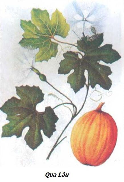 Qua Lâu - Trichosanthes kirilowii - Nguyên liệu làm thuốc Chữa Cảm Sốt