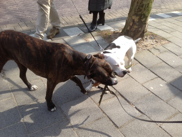 Walking Biggs Picture Friday Amsterdam Dogs