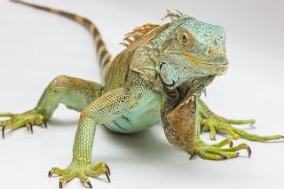 Jenis Iguana blue diamond dan Harganya