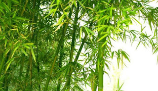 Bamboo Leaves Health Benefits for Body - Healthy Tips