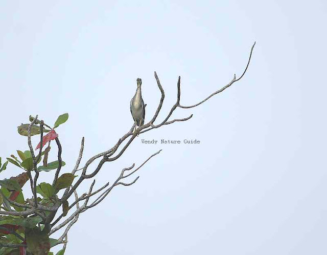Birds of Langkawi