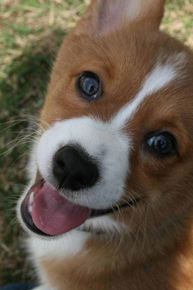 dogs cute dog smiling face smile funny makes she puppy imgur corgi adorable sweet doggy put xpost admin posted am