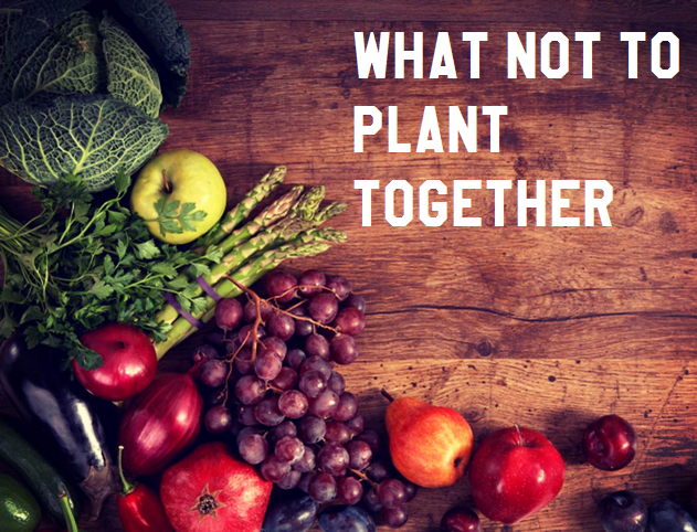 What Not To Plant Together #Organic_Gardening