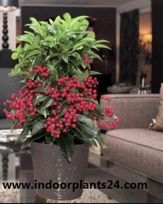 Ardisia crenata Myrsinaceae indoor house plant