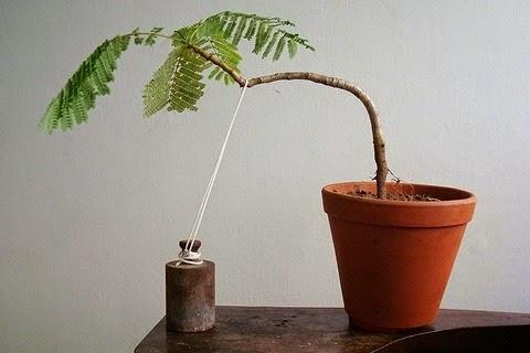 cara menanam bonsai serut