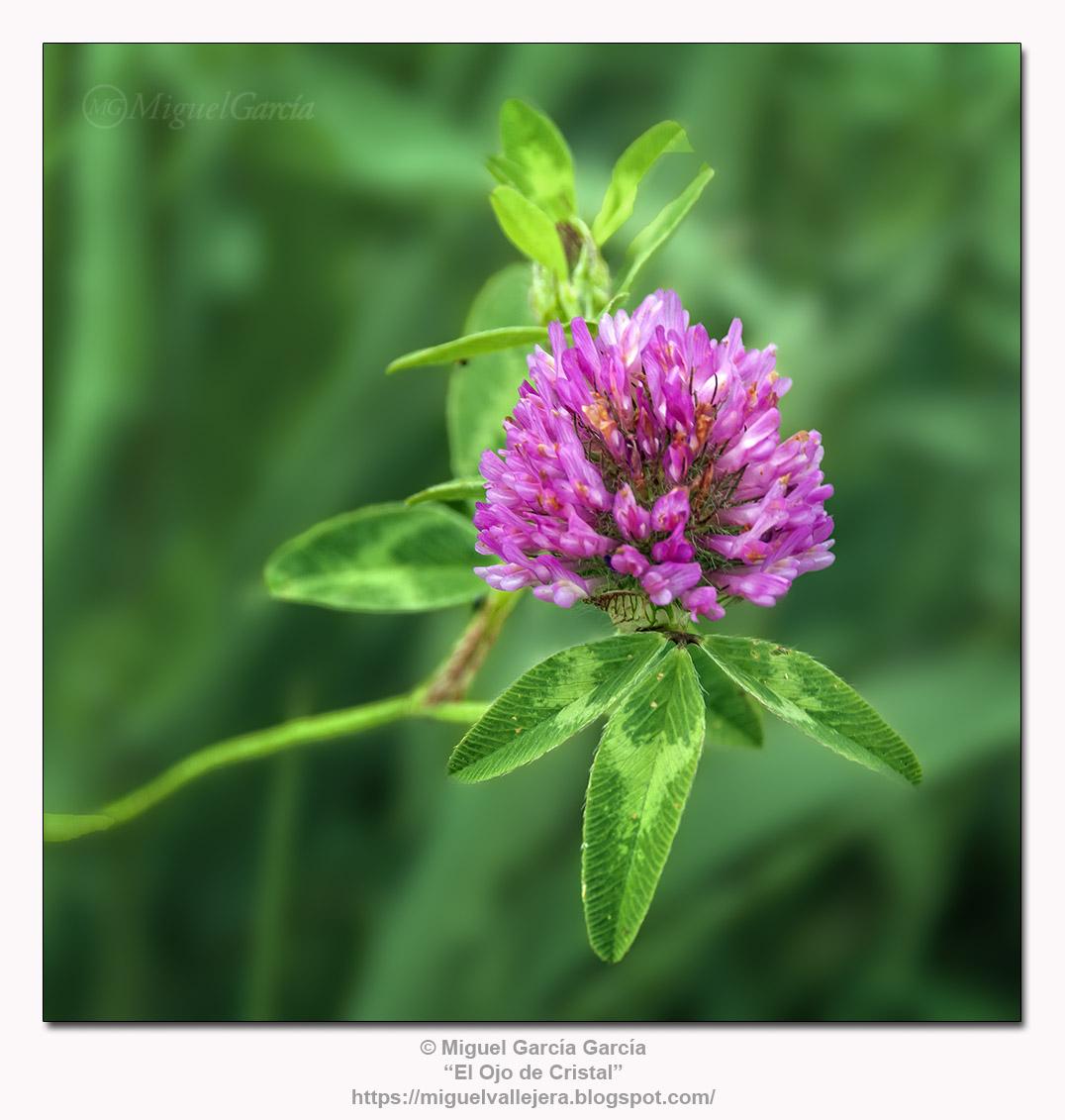Trébol (Trifolium pratense)