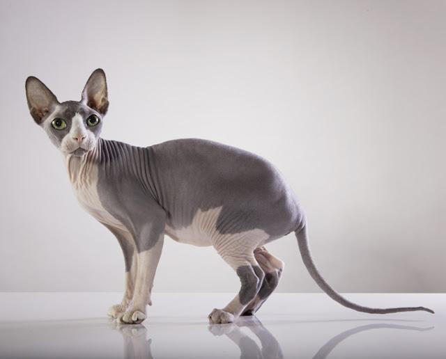 sphynx pets%2Babs - Four Cаnаdіаn Cat Brееdѕ All Cat Lovers Should Knоw