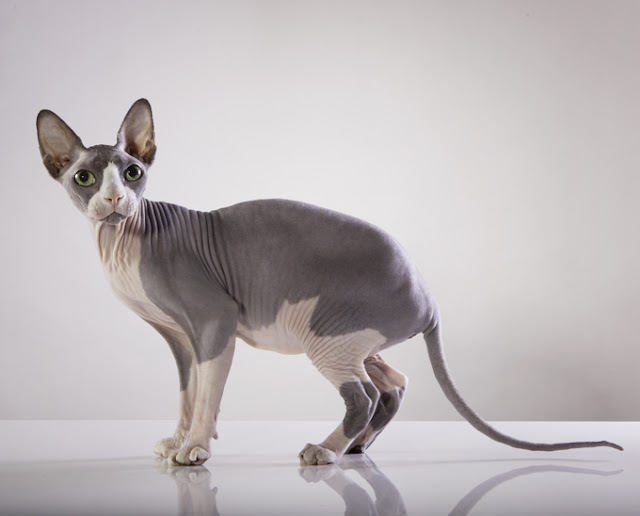 sphynx pets%2Babs - Four Breed of Cats that are Uniquely Cаnаdіаn