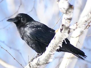 Corneille d'Amérique - Corvus brachyrhynchos