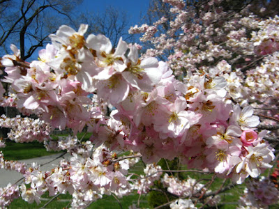 Prunus Accolade Japanese Flowering Cherry sakura blooms at Mount Pleasant Cemetery by garden muses--not another Toronto gardening blog